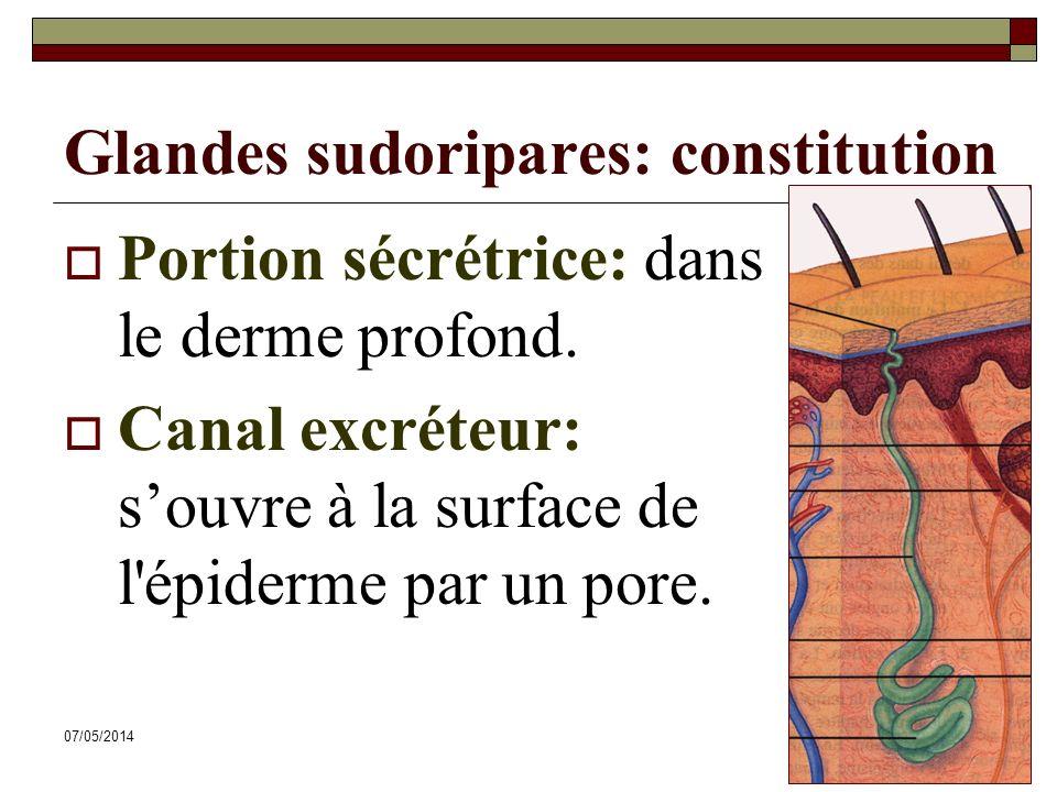 Glandes sudoripares: constitution