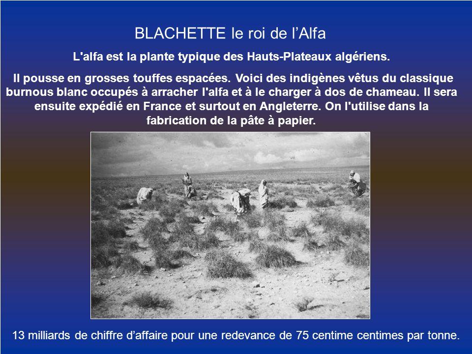 L alfa est la plante typique des Hauts-Plateaux algériens.