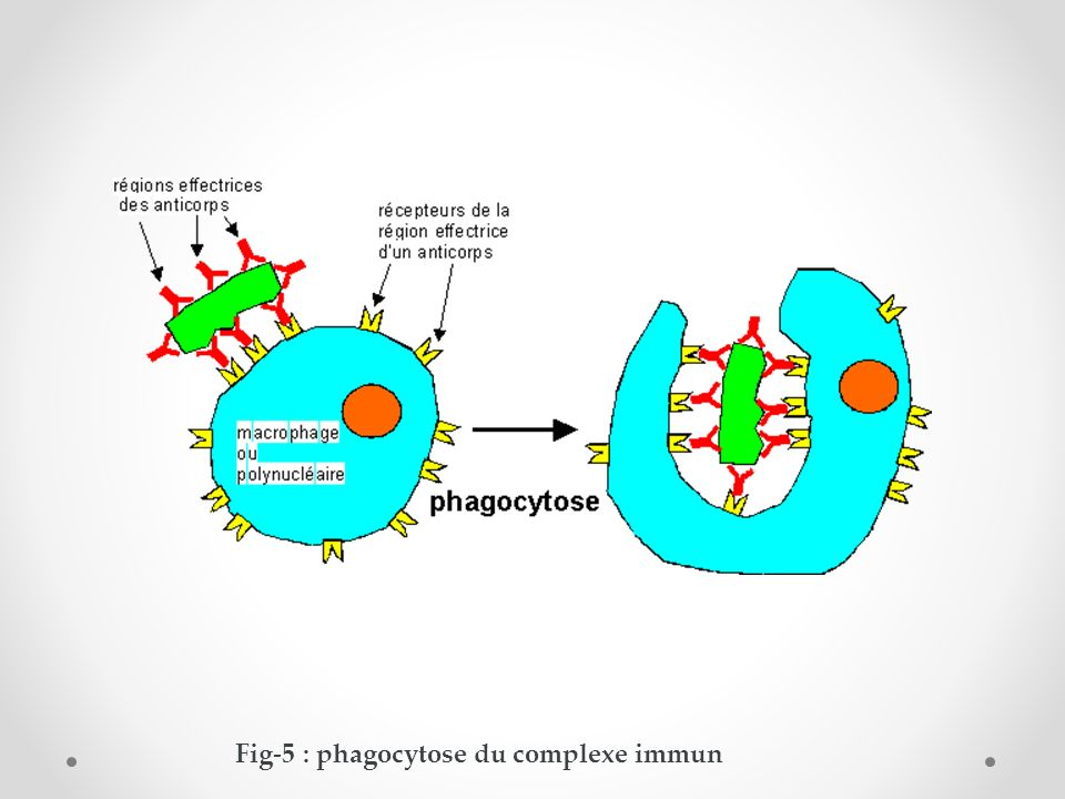 Fig-5 : phagocytose du complexe immun