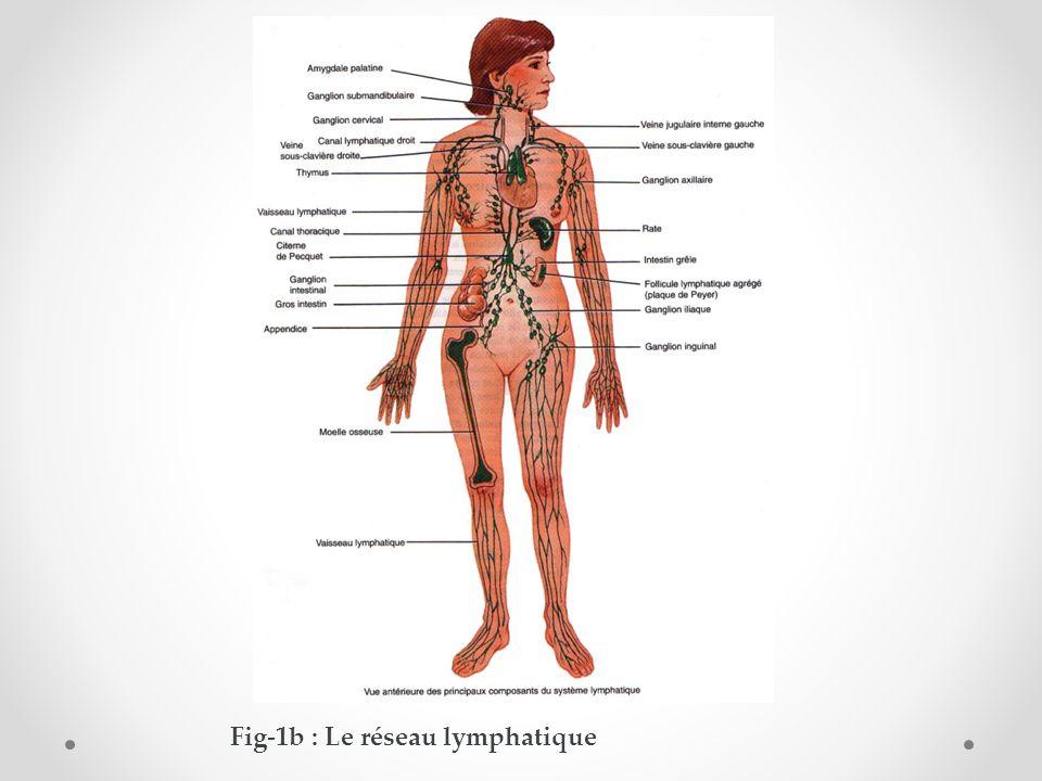 Fig-1b : Le réseau lymphatique