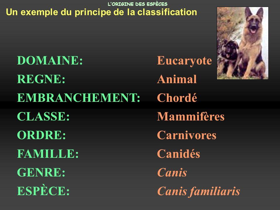 EMBRANCHEMENT: Chordé CLASSE: Mammifères ORDRE: Carnivores