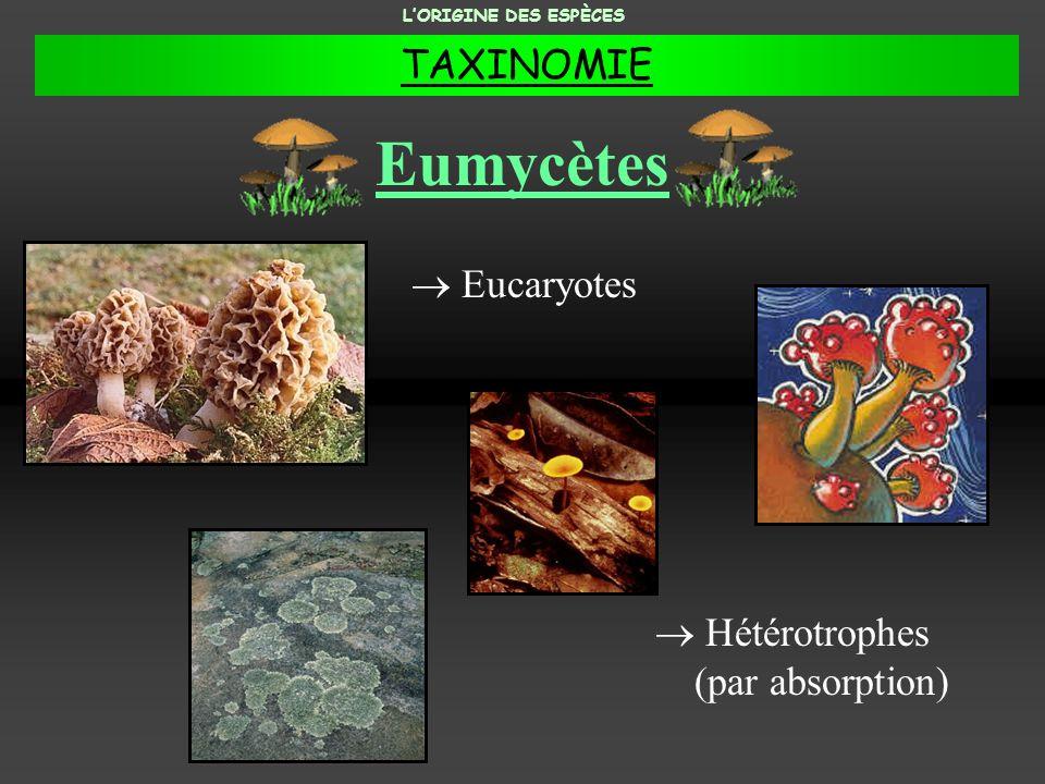 Eumycètes TAXINOMIE  Eucaryotes  Hétérotrophes (par absorption)