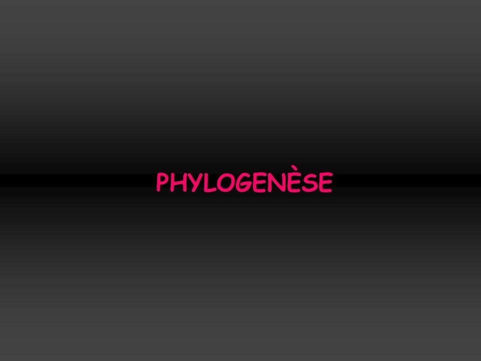 PHYLOGENÈSE