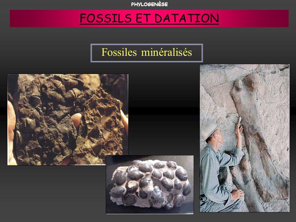 PHYLOGENÈSE FOSSILS ET DATATION Fossiles minéralisés