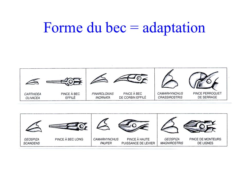 Forme du bec = adaptation