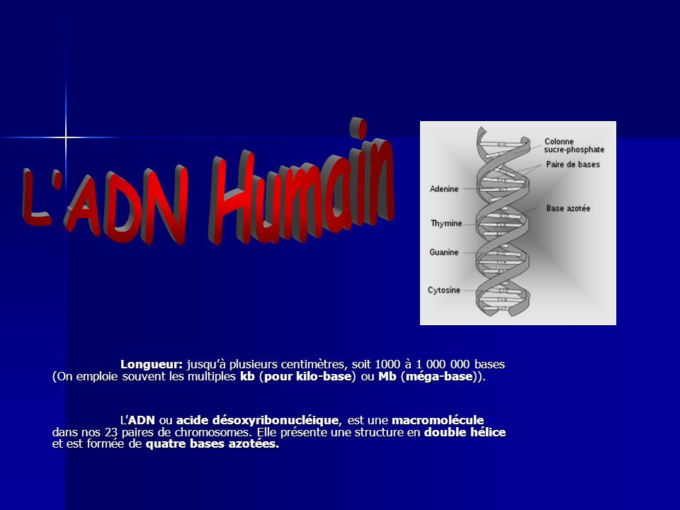 L'ADN Humain