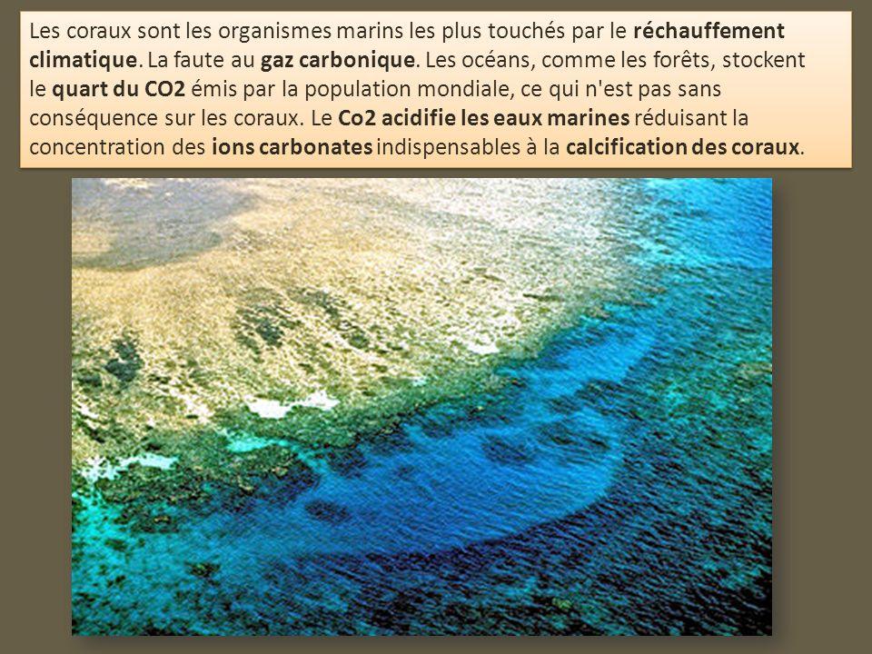 Les coraux sont les organismes marins les plus touchés par le réchauffement climatique.