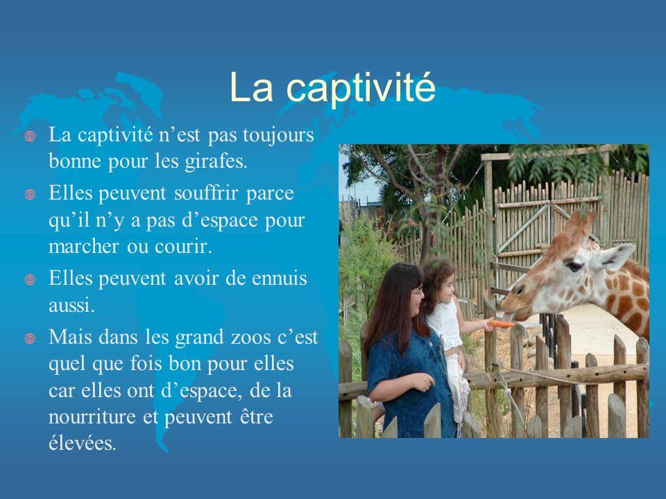 La captivité La captivité n'est pas toujours bonne pour les girafes.