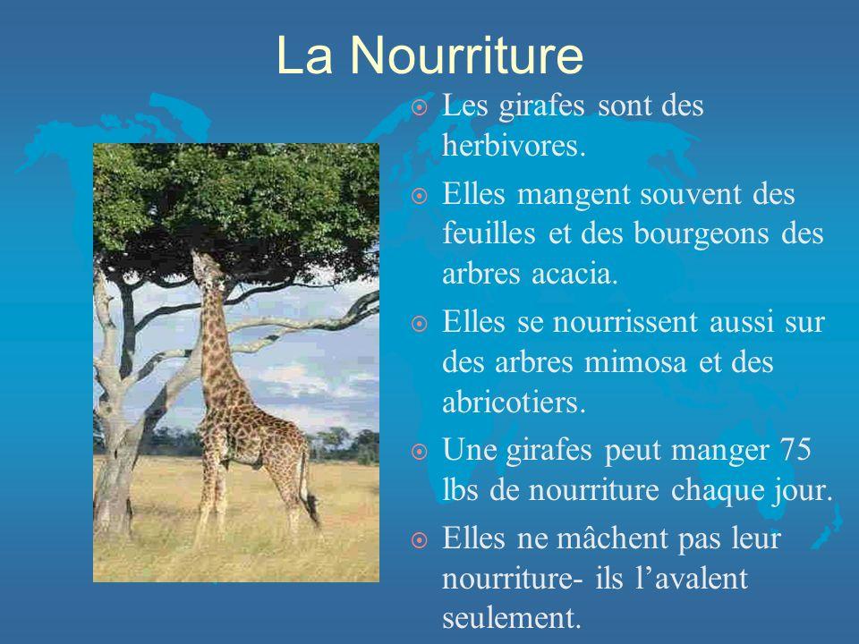 La Nourriture Les girafes sont des herbivores.