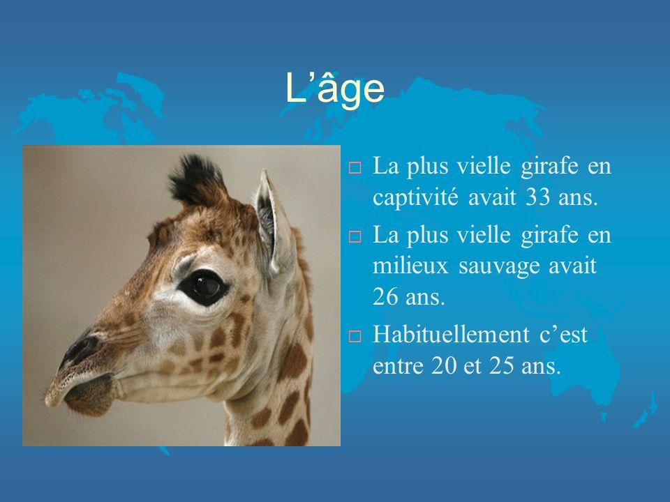 L'âge La plus vielle girafe en captivité avait 33 ans.