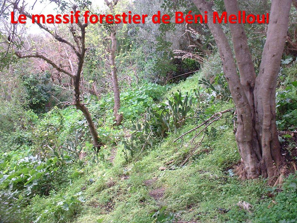 Le massif forestier de Béni Melloul