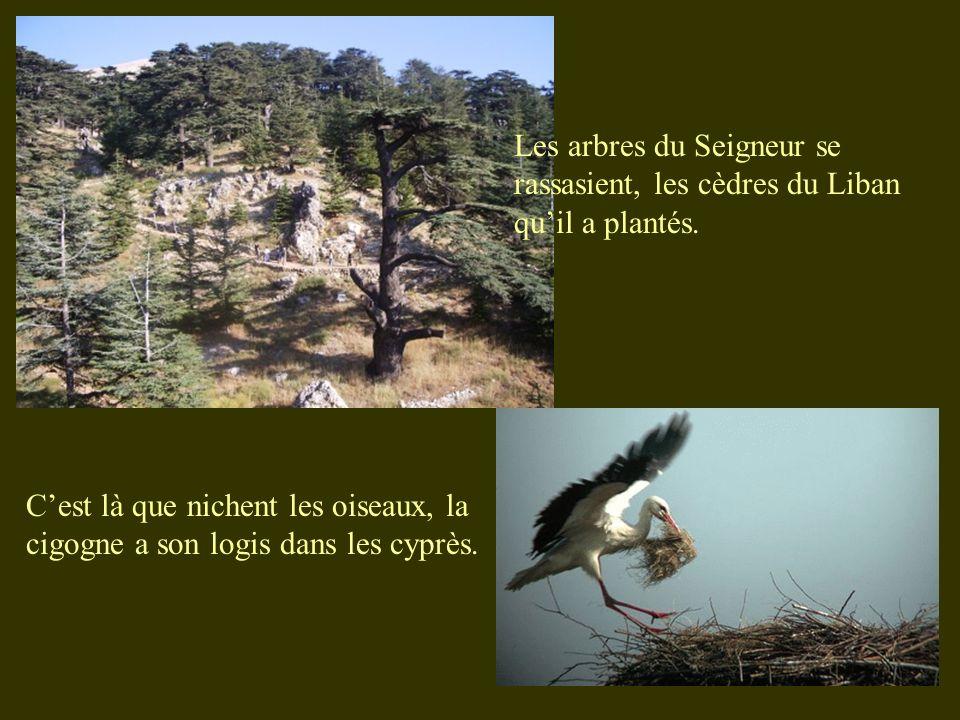 Les arbres du Seigneur se rassasient, les cèdres du Liban qu'il a plantés.