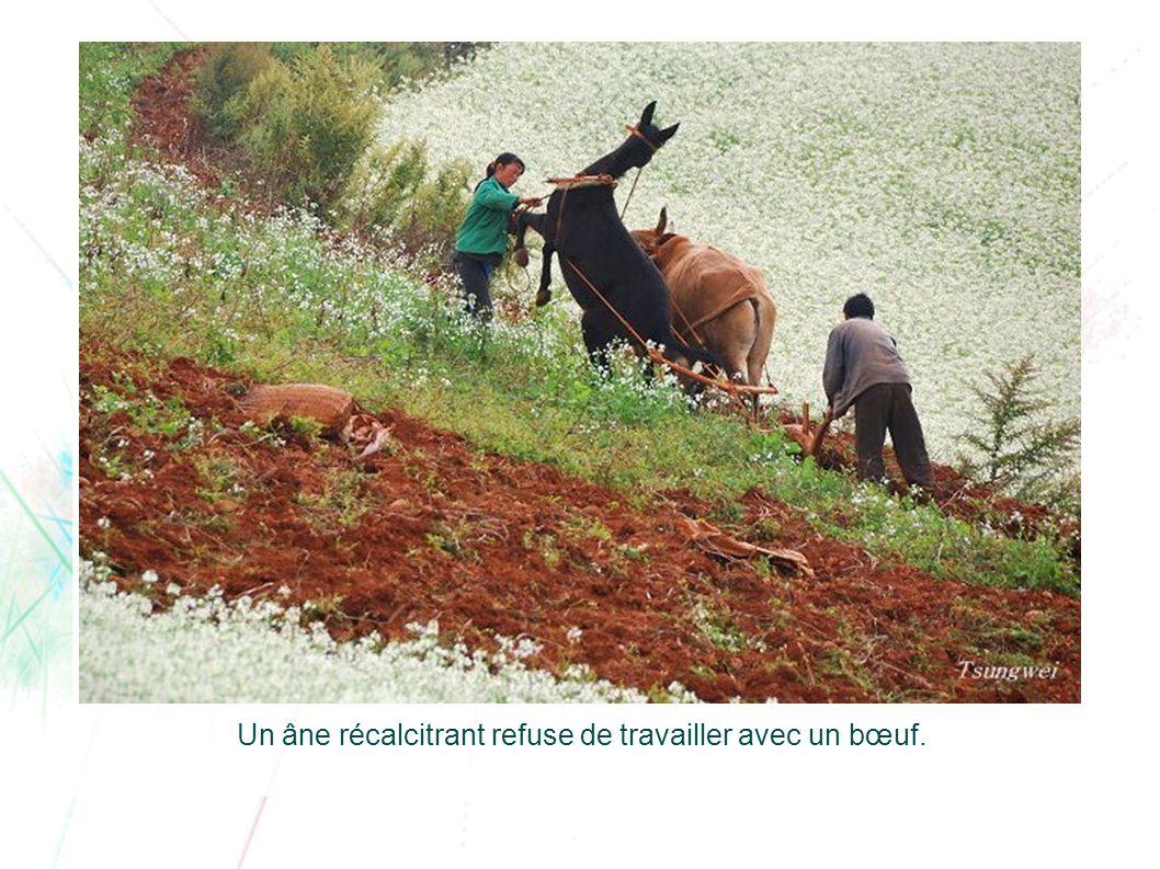 Un âne récalcitrant refuse de travailler avec un bœuf.