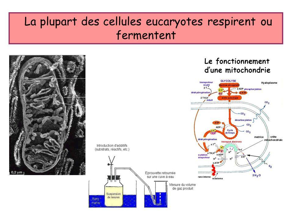 La plupart des cellules eucaryotes respirent ou fermentent
