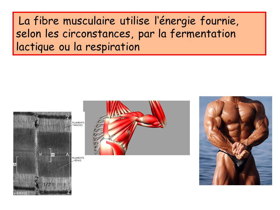 La fibre musculaire utilise l'énergie fournie, selon les circonstances, par la fermentation lactique ou la respiration