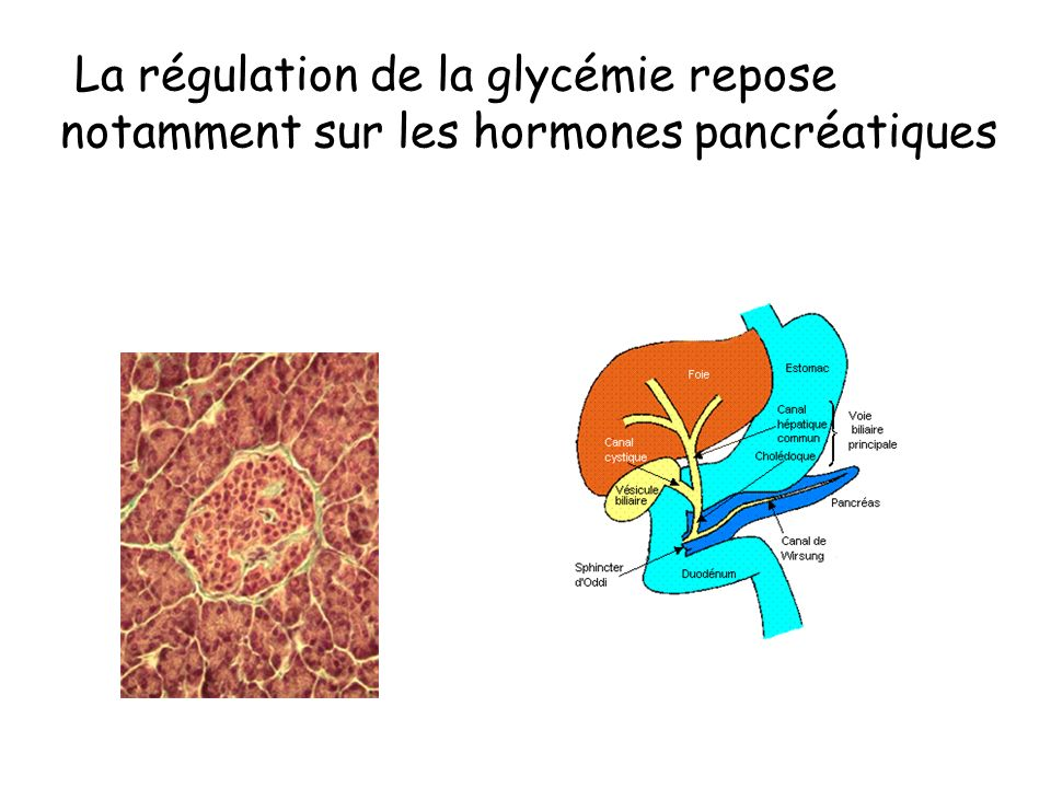 La régulation de la glycémie repose notamment sur les hormones pancréatiques