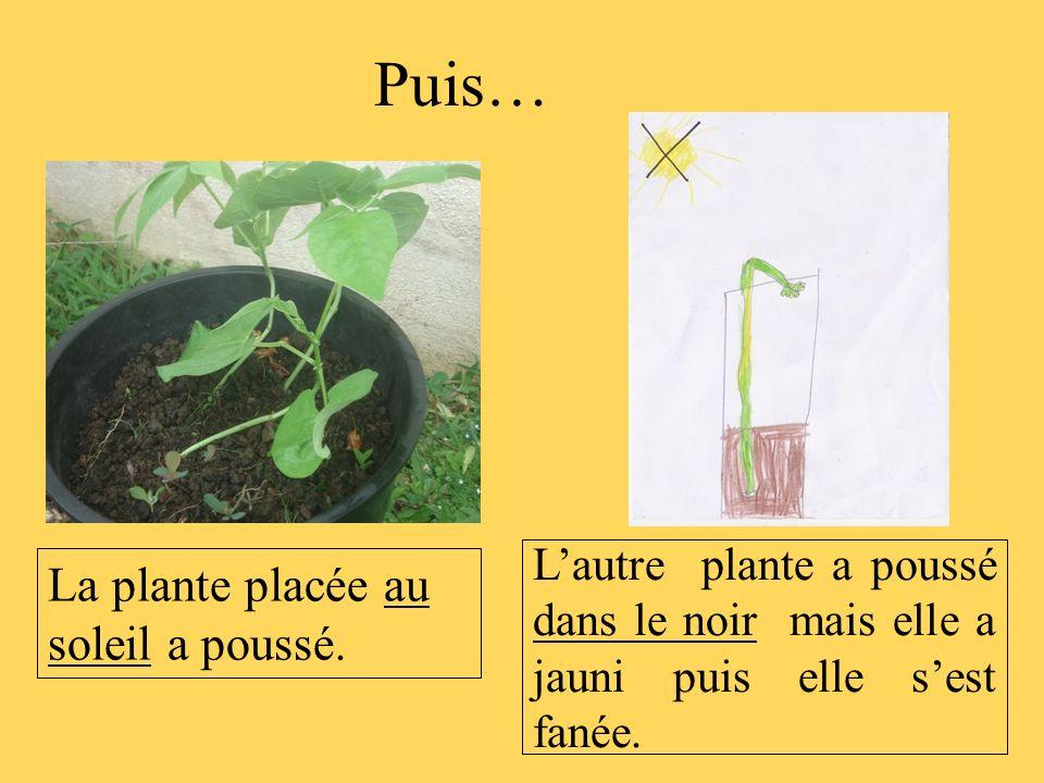Puis… La plante placée au soleil a poussé.