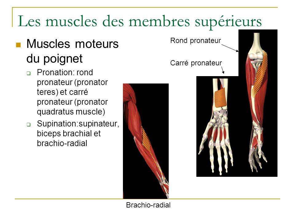 Les muscles des membres supérieurs