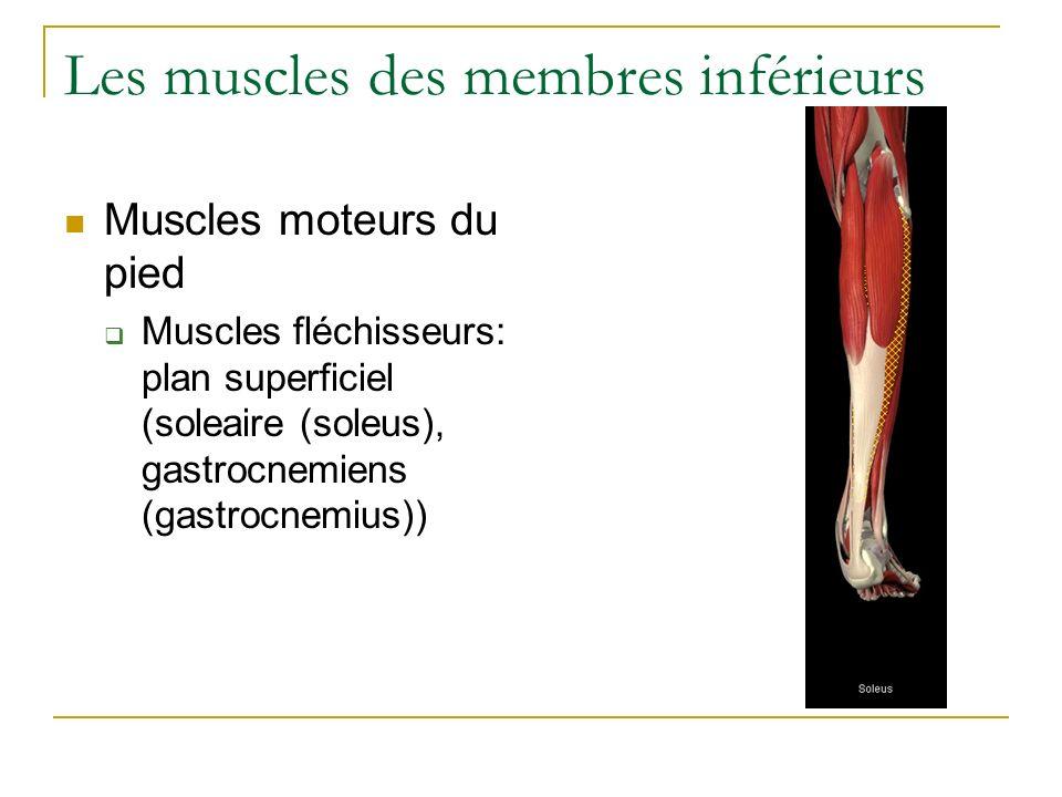 Les muscles des membres inférieurs