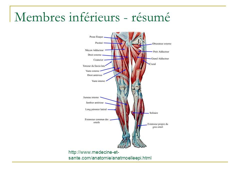 Membres inférieurs - résumé