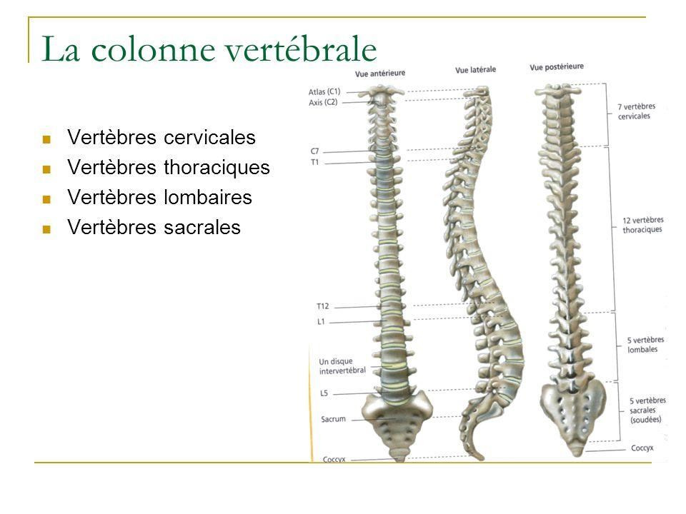 La colonne vertébrale Vertèbres cervicales Vertèbres thoraciques