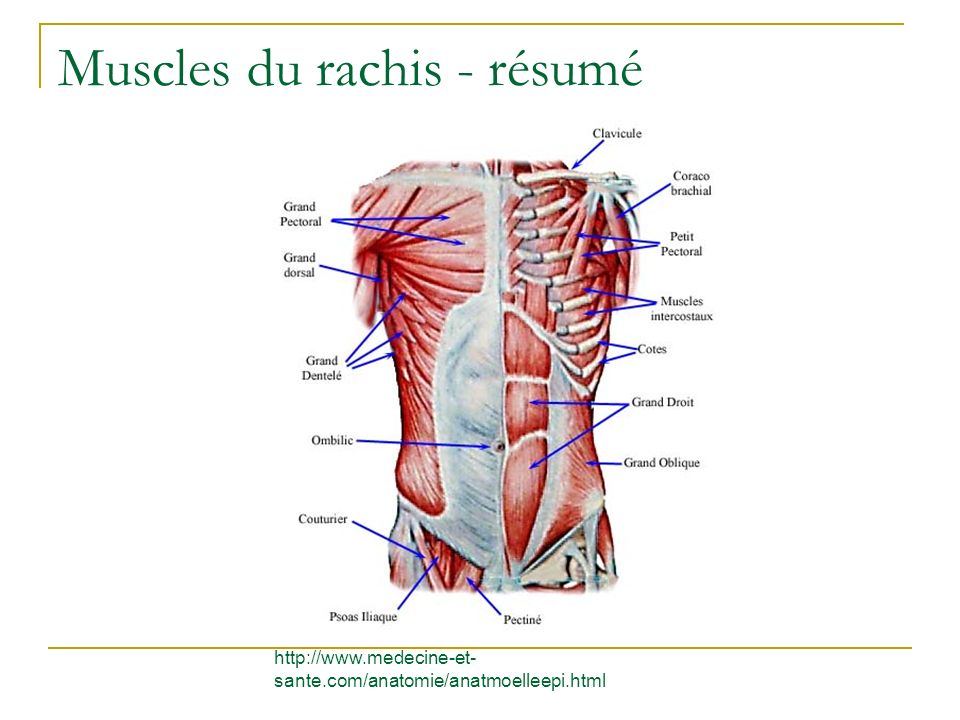 Muscles du rachis - résumé