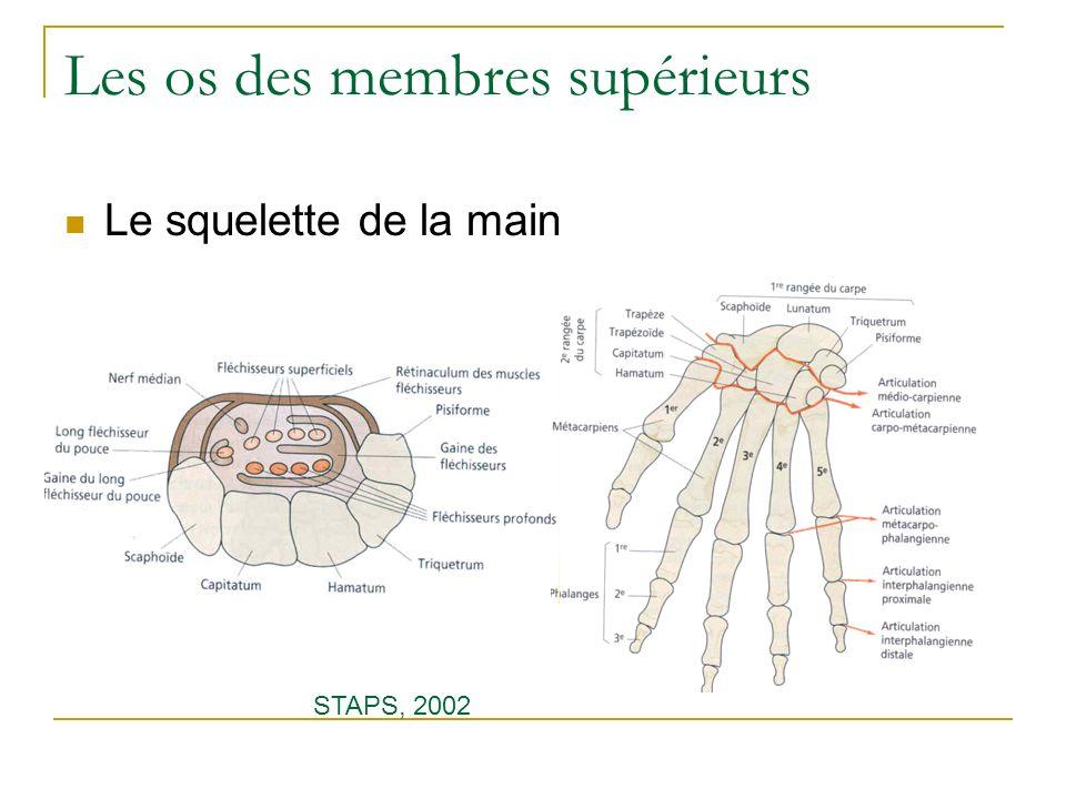 Les os des membres supérieurs