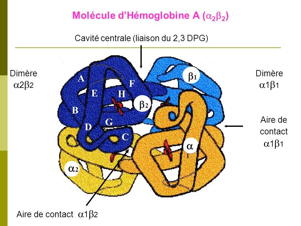Molécule d'Hémoglobine A (a2b2)