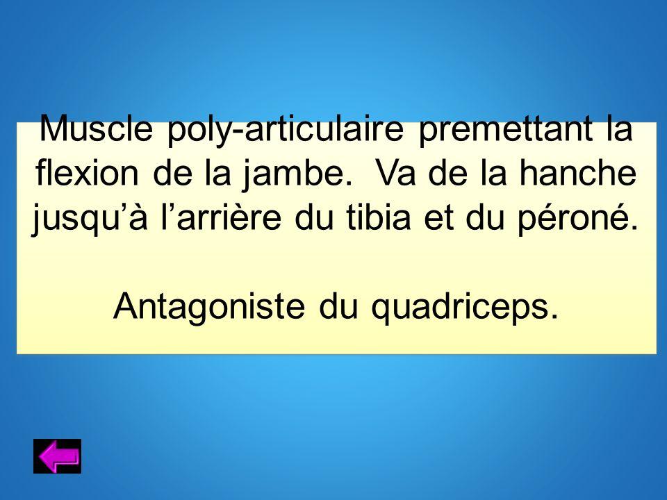 Antagoniste du quadriceps.