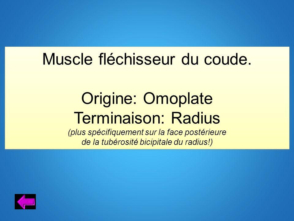 Muscle fléchisseur du coude.