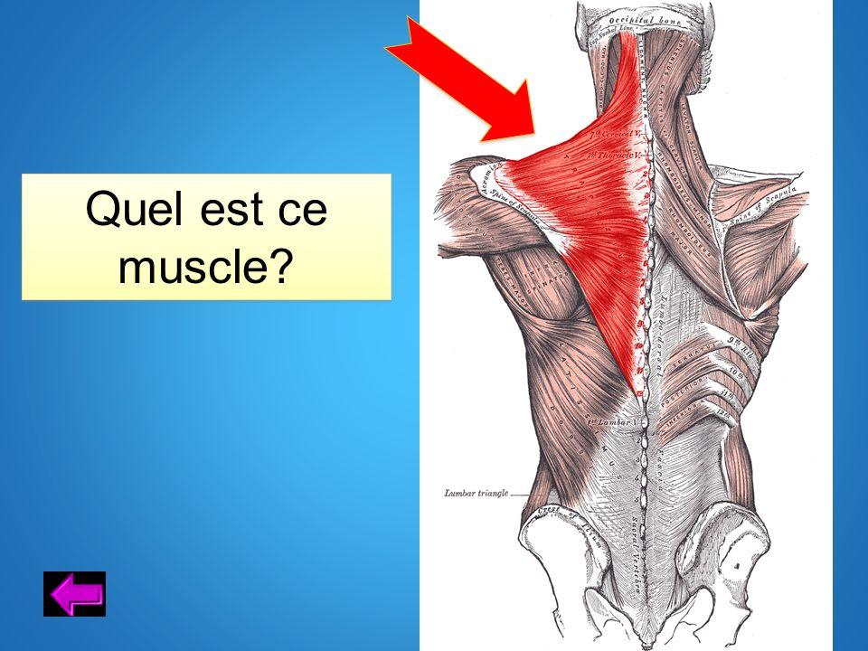 Quel est ce muscle