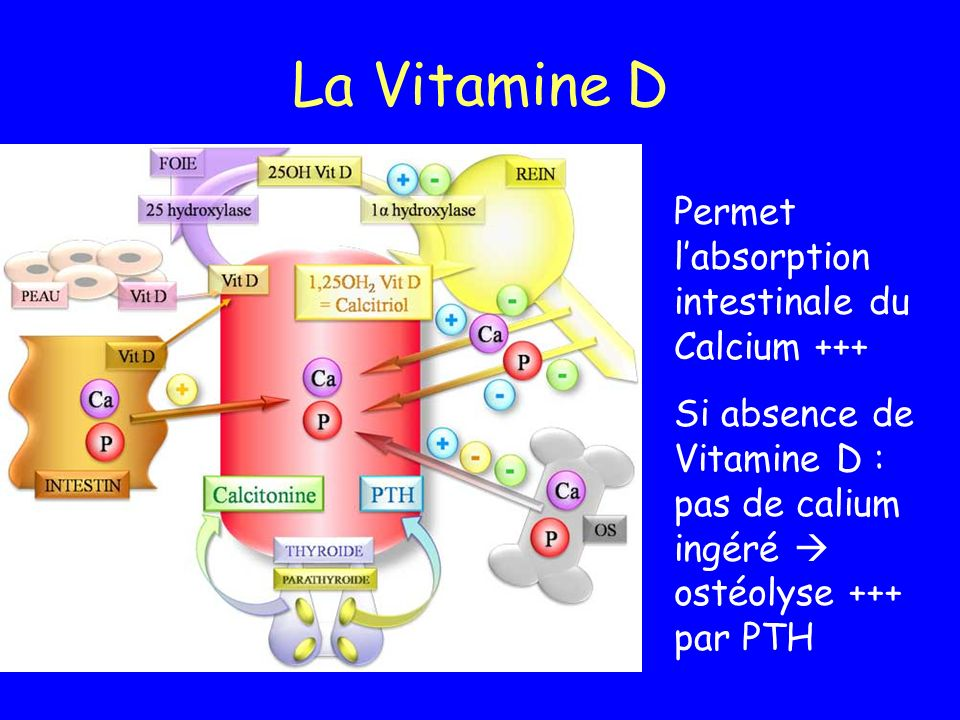 La Vitamine D Permet l'absorption intestinale du Calcium +++