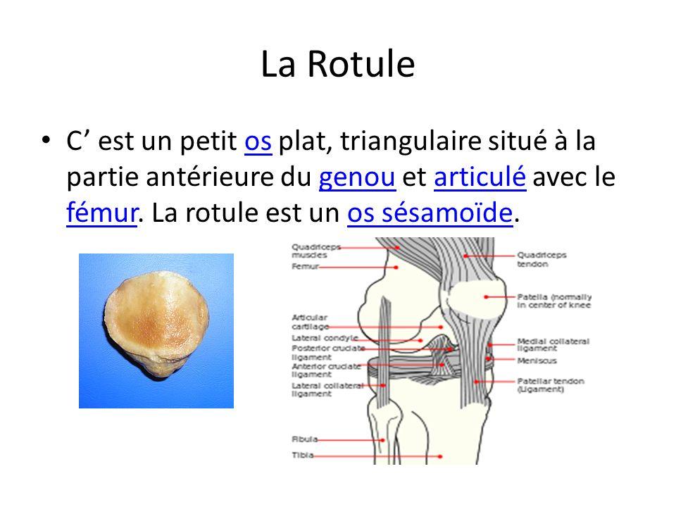 La Rotule C' est un petit os plat, triangulaire situé à la partie antérieure du genou et articulé avec le fémur.