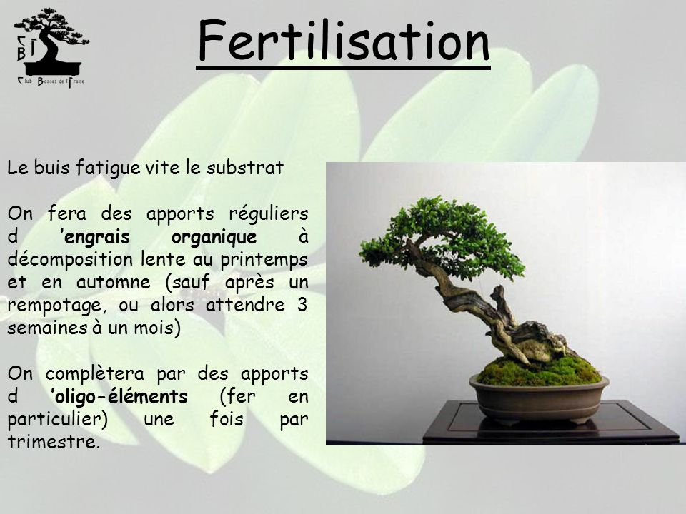Fertilisation Le buis fatigue vite le substrat