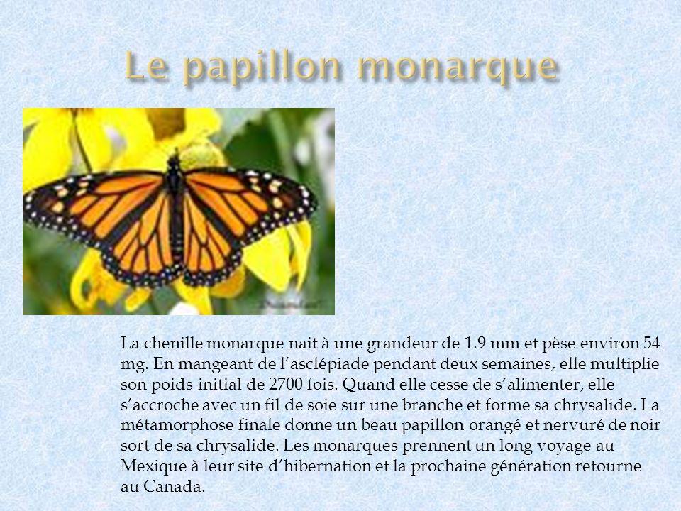 Le papillon monarque