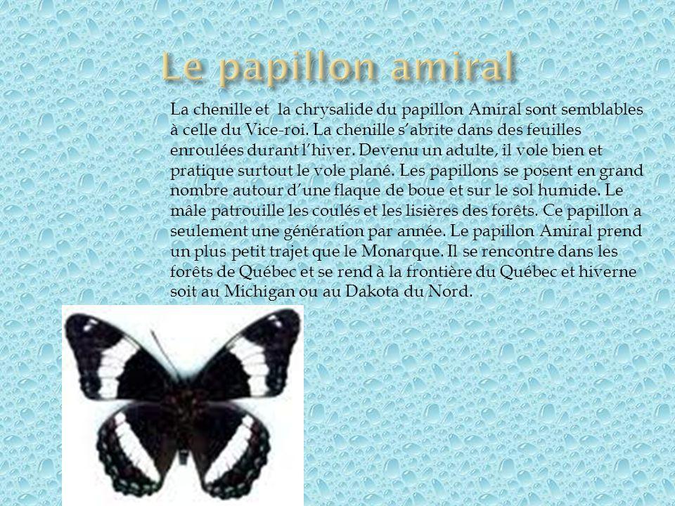 Le papillon amiral
