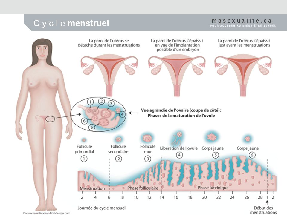 C y c l e menstruel m a s e x u a l i t e . c a