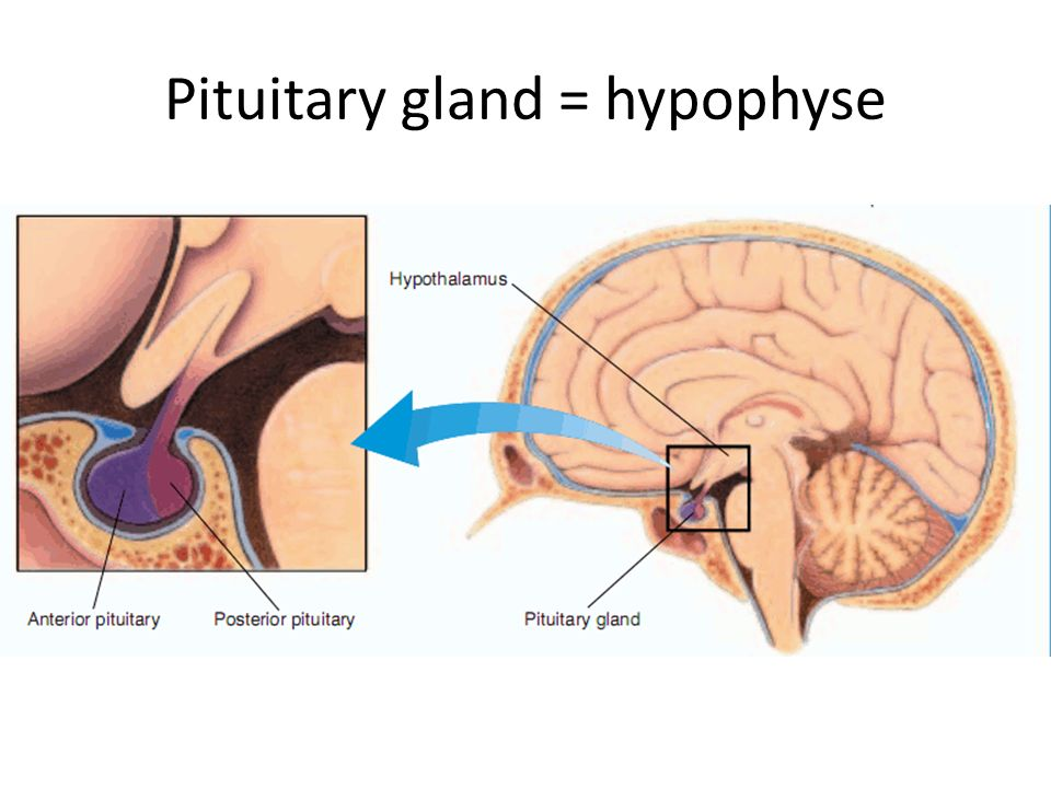 Pituitary gland = hypophyse