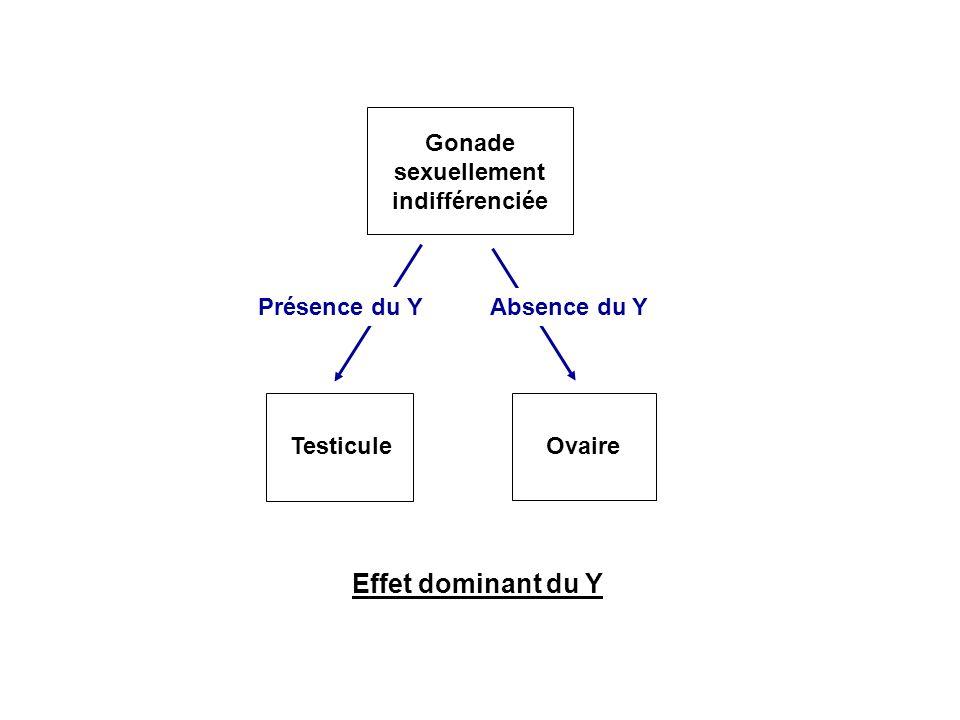 Effet dominant du Y Gonade sexuellement indifférenciée Présence du Y