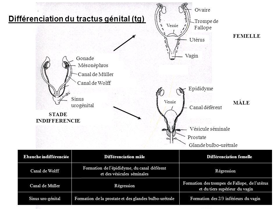 Différenciation du tractus génital (tg)
