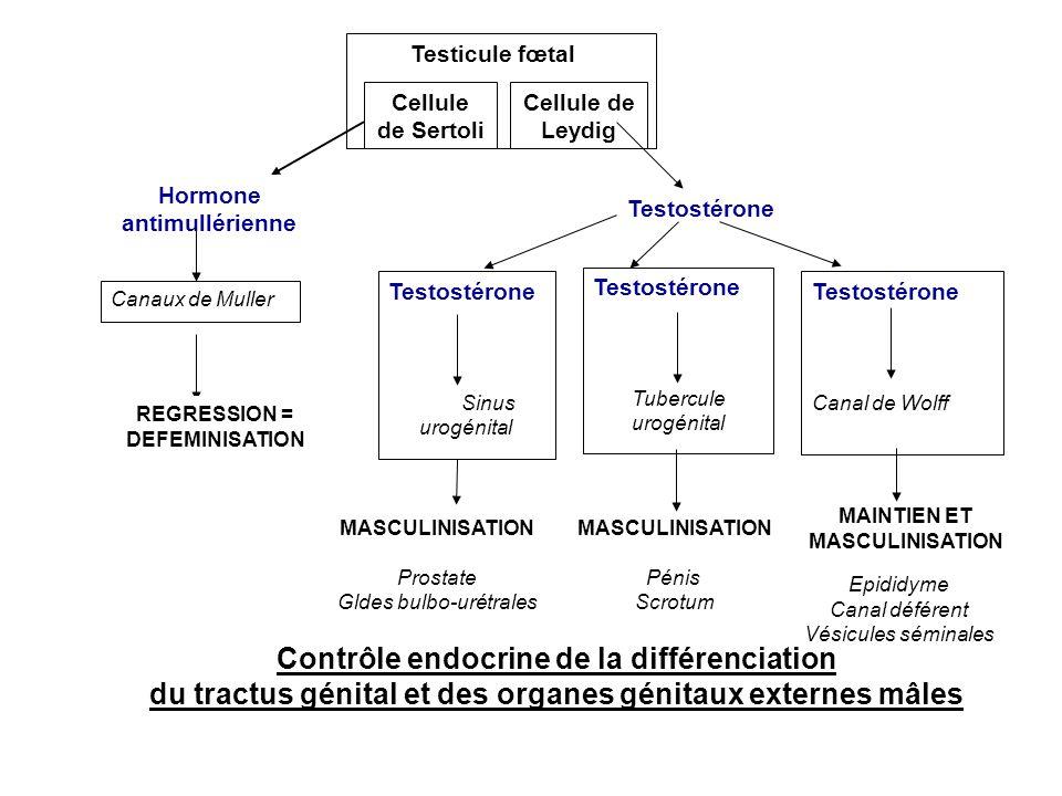 Contrôle endocrine de la différenciation