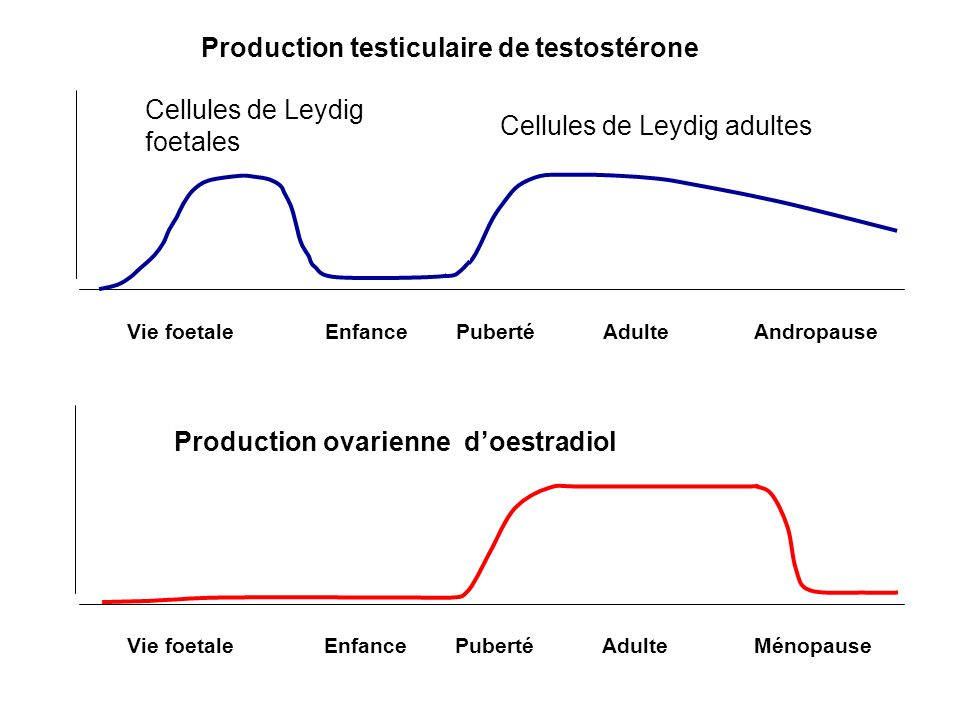 Production testiculaire de testostérone