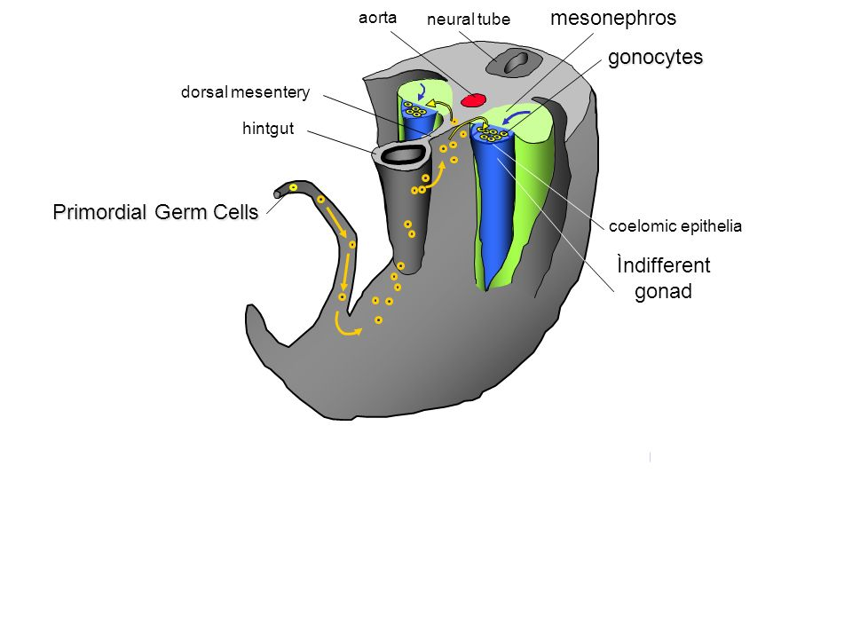 mesonephros gonocytes Primordial Germ Cells Ìndifferent gonad aorta