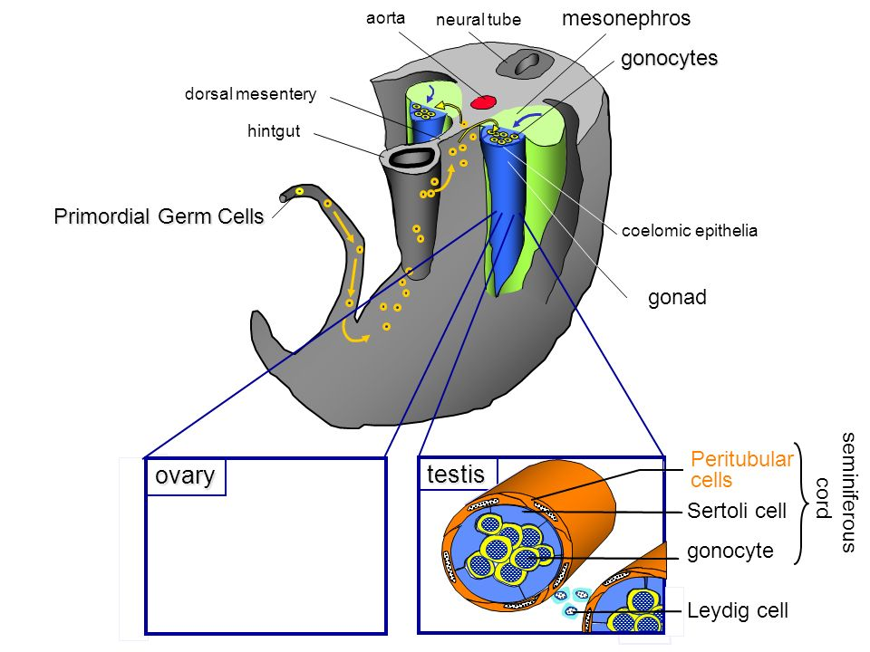 ovary testis mesonephros gonocytes Primordial Germ Cells Ìndifferent