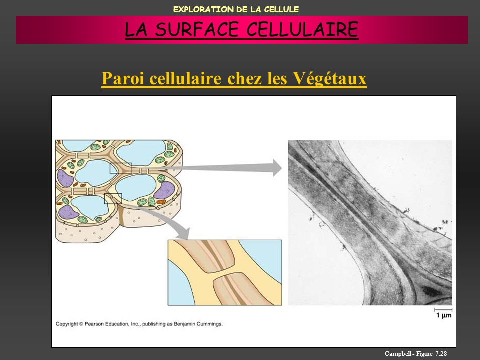 EXPLORATION DE LA CELLULE