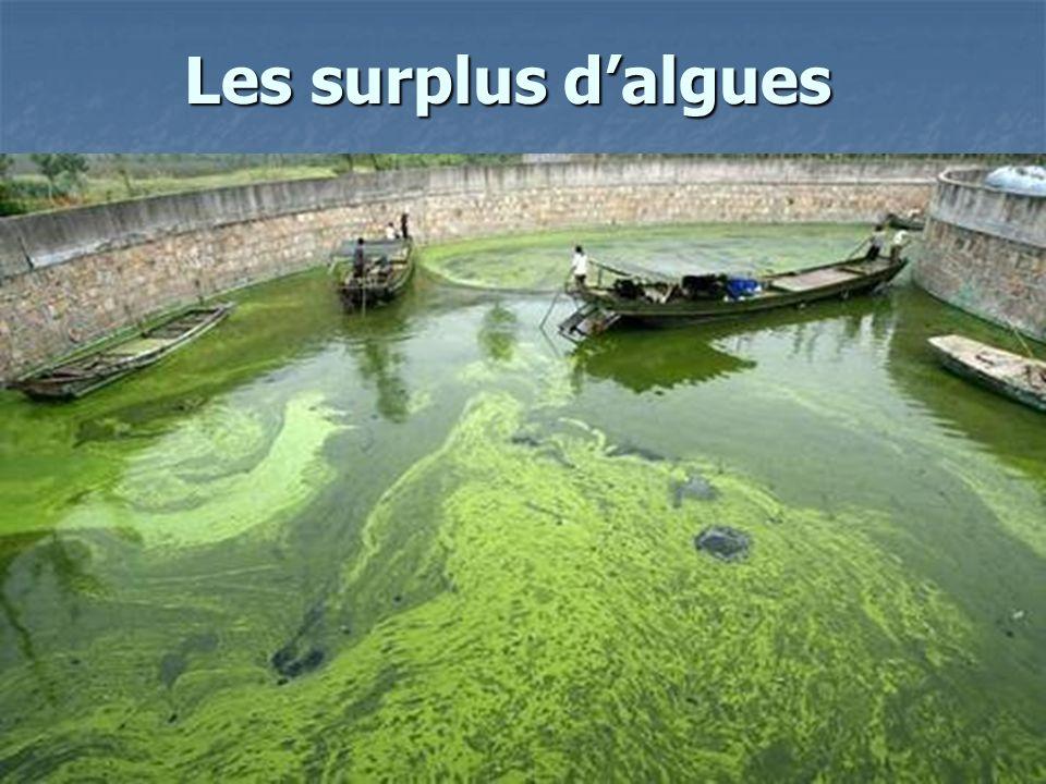 Les surplus d'algues