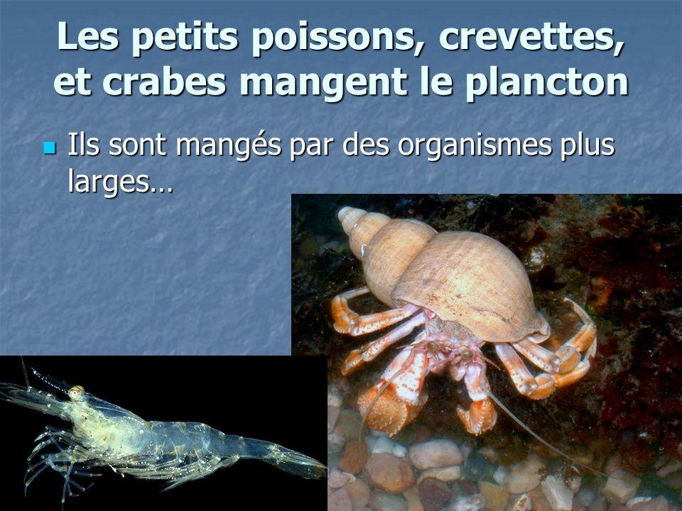 Les petits poissons, crevettes, et crabes mangent le plancton