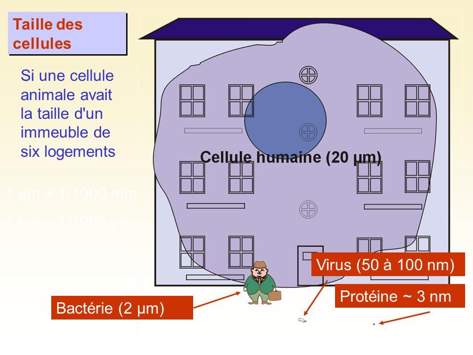 Taille des cellules Si une cellule animale avait la taille d un immeuble de six logements. 1 µm = 1/1000 mm.