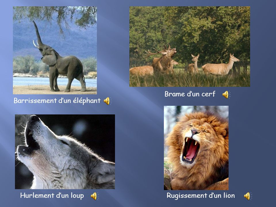 Brame d'un cerf Barrissement d'un éléphant Hurlement d'un loup Rugissement d'un lion