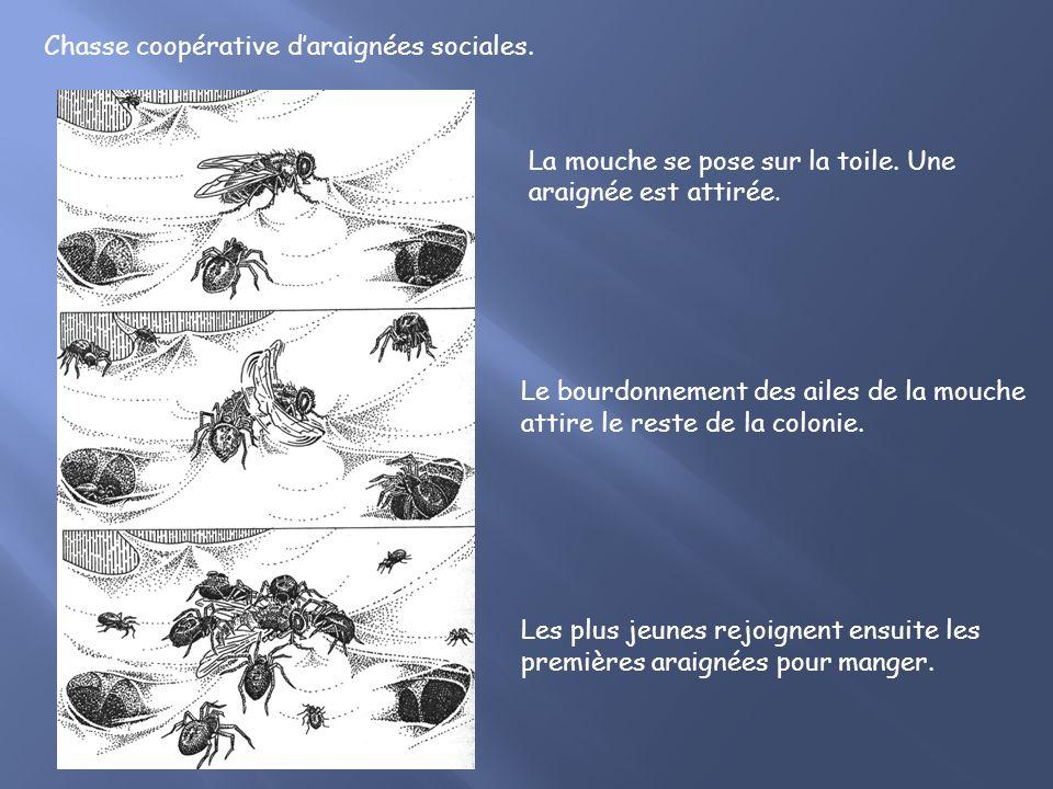 Chasse coopérative d'araignées sociales.